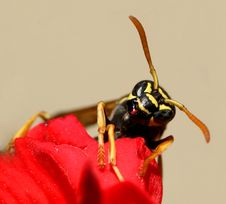 Free Wasp...(5) Royalty Free Stock Images - 177399