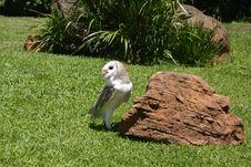 Free Owl Feeding Stock Photography - 177942