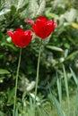 Free Tulips Royalty Free Stock Image - 1700236