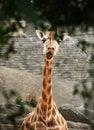 Free Taronga Zoo Giraffe Royalty Free Stock Photos - 1700858