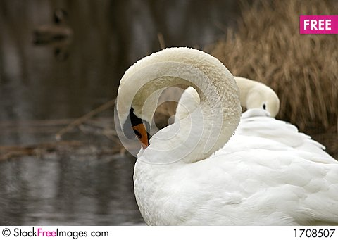 Mute Swan Pair 3 Stock Photo