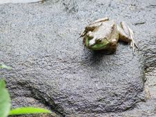 Frog On Rock Royalty Free Stock Images