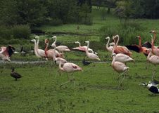 Free Family Of Pink Flamingos Stock Images - 1701654