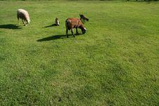 Free Sheeps Eating Grass Royalty Free Stock Photos - 1702498