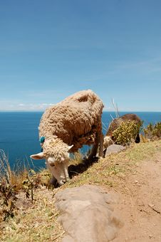 Free Sheep From Tequile Island On Lake Titicaca, Peru Stock Photos - 1703213