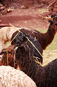 Free Alpaca Eating Hay Royalty Free Stock Photos - 1703388