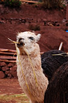 Free Alpaca Eating Hay Royalty Free Stock Images - 1703389