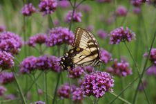 Free Eastern Tiger Swallowtail Butterfly Royalty Free Stock Images - 1703879