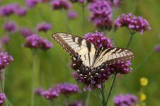 Free Eastern Tiger Swallowtail Butterfly Royalty Free Stock Photography - 1703887