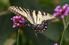 Free Eastern Tiger Swallowtail Butterfly Stock Photo - 1703890