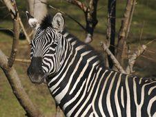 Free Zebra Gaze Royalty Free Stock Images - 1705099