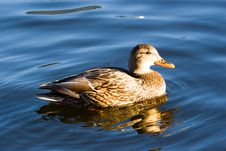 Free Swimming Wild Duck. Sunset Light Stock Photos - 1706573