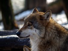 Free European Wolf - Canis Lupus Lupus Royalty Free Stock Image - 1706746