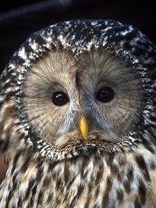 Free Night Owl Stock Photo - 1706860