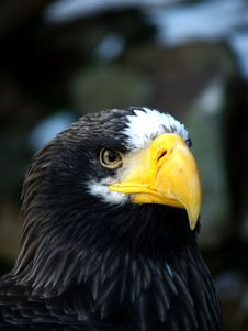 Free EAGLE Royalty Free Stock Images - 1707119