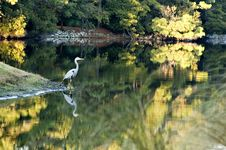 Free Great Blue Heron And Fall Reflections Royalty Free Stock Photo - 1707775