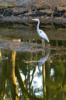 Free Great Blue Heron And Tree Reflection Stock Photo - 1707840