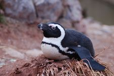 Free Penguin Stock Images - 1707884