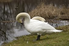 Free Mute Swan Pair 2 Royalty Free Stock Photo - 1708465