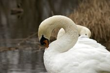 Free Mute Swan Pair 3 Royalty Free Stock Photography - 1708507