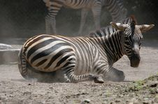 Free Tired Zebra Royalty Free Stock Photos - 1709518