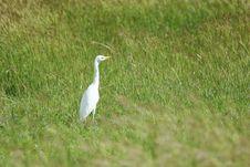 Free White Egret Stock Image - 1709811