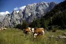 Free Alpine Cows Royalty Free Stock Photos - 17000038
