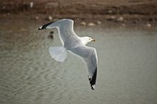 Free Ring-billed Gull Flying Over A Pond Stock Photography - 17001082
