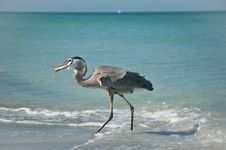 Great Blue Heron With Fish On A Gulf Coast Beach Stock Images