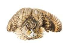 Free Owl Royalty Free Stock Photography - 17001277