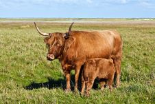 Free Galloway Cattle Standing In The Meadow Stock Photo - 17001690