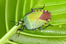 Free Colorful Shield Bug Royalty Free Stock Photos - 17002238