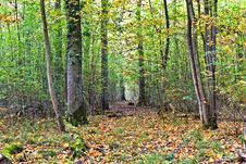 Free Path Through Old Oak Forest Royalty Free Stock Image - 17002856