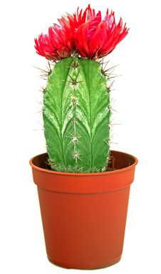 Blossoming Cactus In A Brown Pot Royalty Free Stock Photos