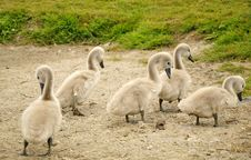 Free Group Of Young Swan Chicks Stock Photo - 17003130
