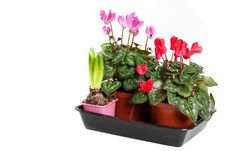 Free Pink And Red Cyclamen On A White Background. Stock Photography - 17003212