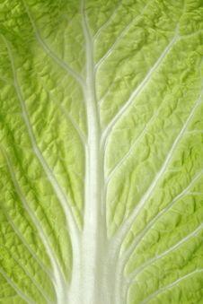Free Cabbage Sheet Close Up Stock Photos - 17003283