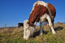 Cow On An Autumn Pasture Royalty Free Stock Images