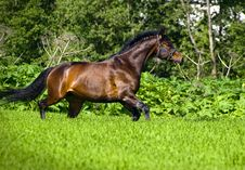 Free Running Horse Royalty Free Stock Images - 17004689