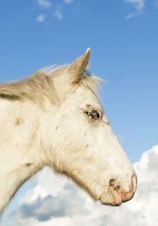 Free Beautiful White Foal Stock Image - 17005421