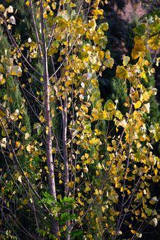 Free Autumn Tree Royalty Free Stock Image - 17005686