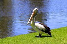 Australian Pelican - Pelecanus Conspicillatus Royalty Free Stock Images