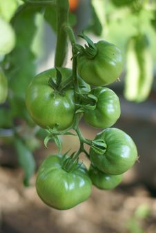 Free Green Tomatoes Royalty Free Stock Photography - 17006047