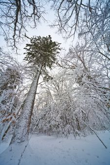 Free Tree In Winter. Stock Photo - 17006440