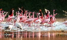 Free Flamingos Queue Royalty Free Stock Photo - 17007815