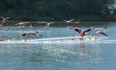 Free Flamingos Takeoff Stock Images - 17007824