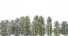 Free Forest Of Fir Twigs Stock Photos - 17009233