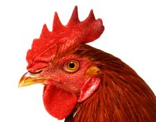 Free Chicken Royalty Free Stock Image - 17009256