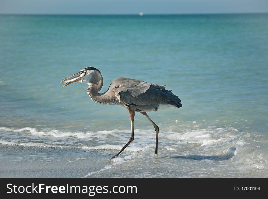Great Blue Heron With Fish on a Gulf Coast Beach
