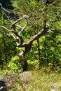Free Twisted Tree Stock Photo - 17012870